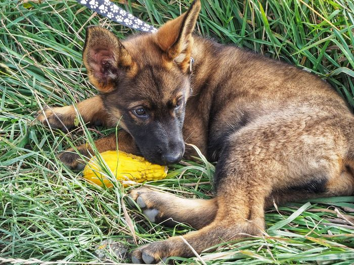 When you look like a wolf but only know how to hunt gourds Domestic Animals Pets Nature Grass Puppy German Shepherd Puppy German Shepherd Sable Pumpkinpatch Fall