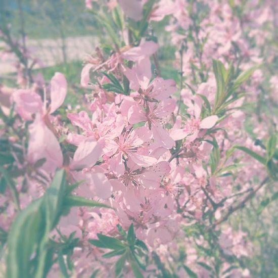 багульник цветы куст растения весна Природа волжский Plants Flowers Nature Spring Volzhsky