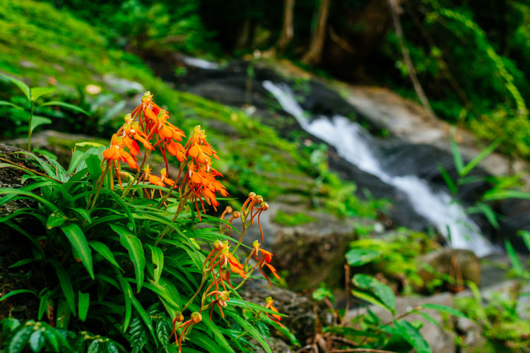 orange flower beside waterfall Water Beauty Tree Forest Leaf Nature Reserve Rural Scene Multi Colored Summer Flower Moss Lush - Description Stream Waterfall Botanical Garden