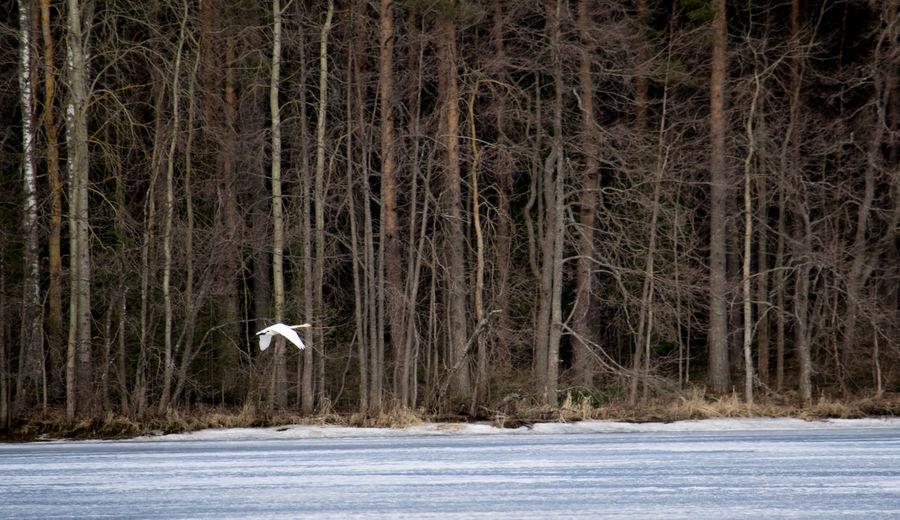 Beauty In Nature Birds Finland Forest Ice Idyllic Kuopio Lake Nature Non-urban Scene Scenics Swan Tranquil Scene Tree White Wildlife WoodLand