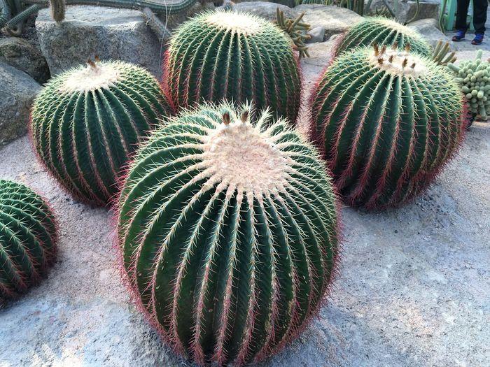 gaint cactus