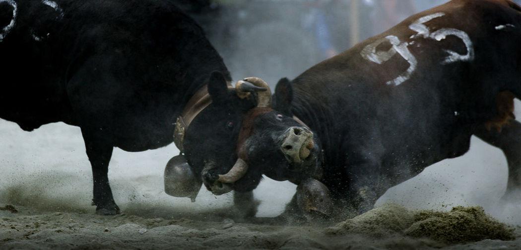 Combat des reines 2 Power Dominance Animal Themes Combat Cowcombat Domestic Animals Dominance In Color Mammal No People Outdoors Week On Eyeem