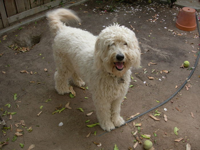 High angle view of goldendoodle standing in yard