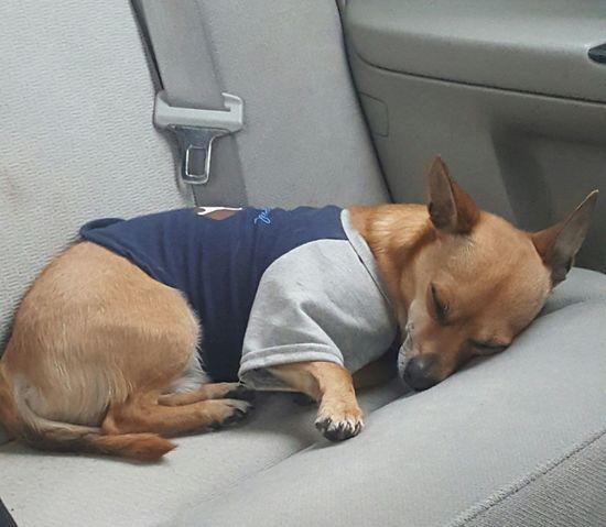 Chihuahua Peanut Dog Dog Life Dogphoto Pet Love Ilovemydog Pet Life  Pets Corner Dogofeyeem Dog❤ Dog Photography My Pet Animalphotography Dognapping Dogsleeping Pet Photography  Pet Portraits