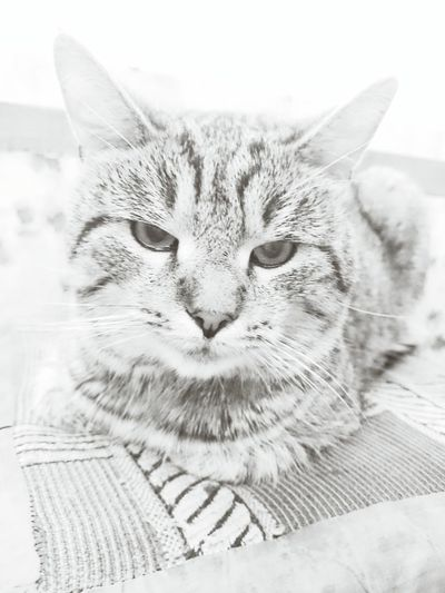Cat Maximus