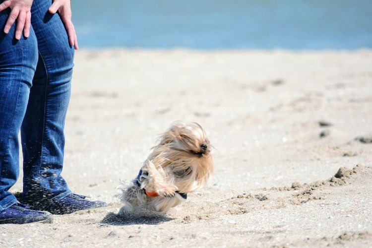 Low section of woman standing by playful yorkshire terrier at beach