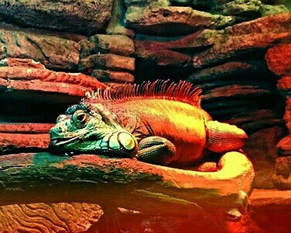 НижнийНовгород хамелеон зоопарк Лимпопо зоопарк Taking Photos Zoo Zoo Animals  EyeEm Nature Lover Eye4photography  Chameleon
