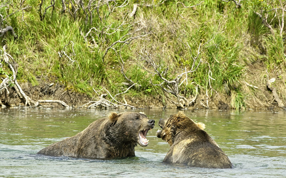 Two angry giant brown bears arguing and showing their teeth in a fight in a river in the Katmai peninsula, Alaska. Wildlife in the Alaskan territory during summer Alaskan Angry Fight Hug Power Ursus Alaska Anger Animal Argue Bear Behavior Bicker Brown Furious Furry Grizzly Katmai Mammal Nature Peninsula Quarrel Strong Wilderness Wildlife