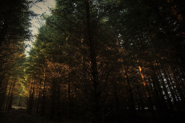 Aberdeenshire Beauty In Nature Forest Growth Light And Shadow Light Through Trees Mytice Nature Night No People Outdoors Pine Forest Pine Woodland Scenics Sky Sunlight Through Trees Tranquility Tree
