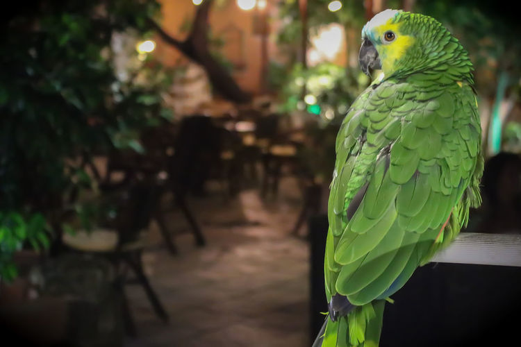 Animal Animal Themes Bird Close-up Day Green Color Nature One Animal Outdoors Parakeet Parrot Tree