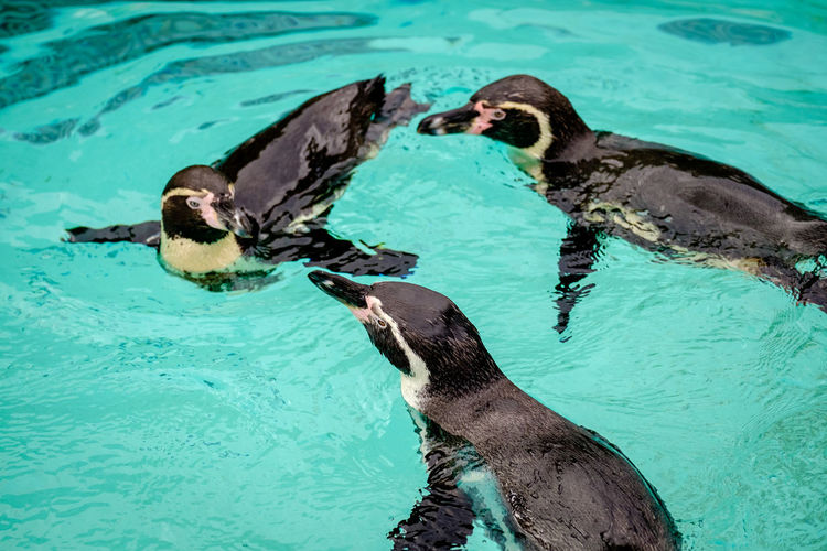 High angle view of penguin swimming in pool