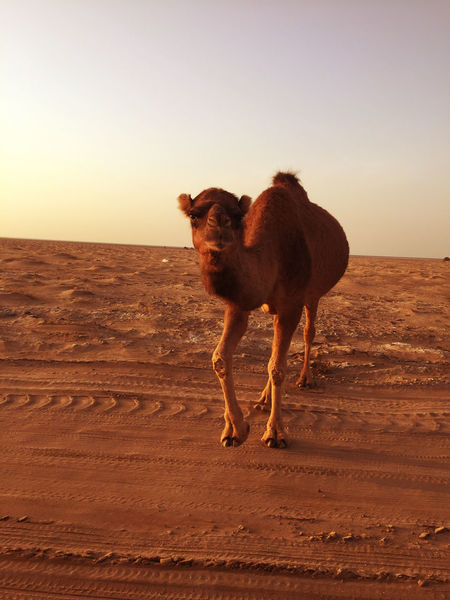 camel standing on 4 legs on desert sand, in Kashan city of Iran Animal Themes Arabian Beauty In Nature Camel Domestic Animals Durability Iran Nature No People One Animal Outdoors Perseverance Persian Sand Sky