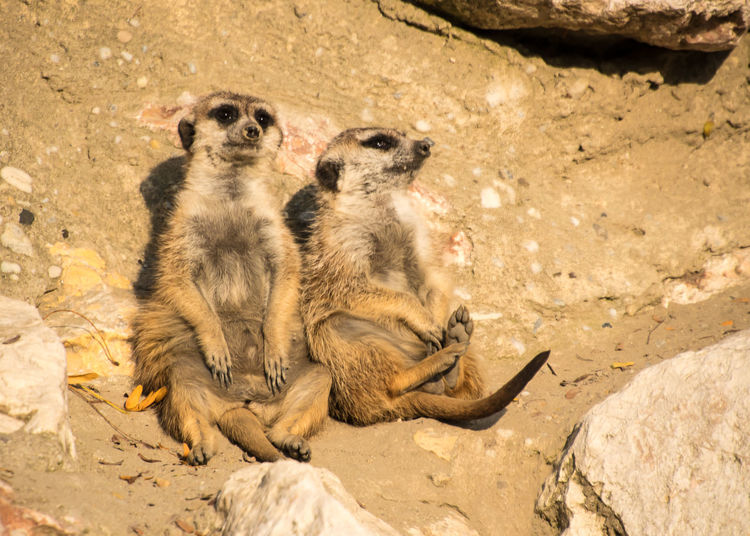 Meerkats social