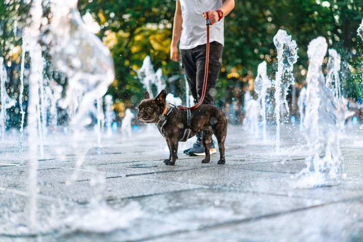 Low section of person with french bulldog dog cooling in fountain water