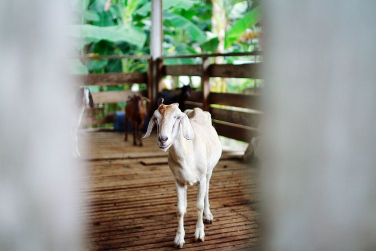 Pet Portraits Livestock Animal Themes Domestic Animals One Animal Mammal EyeEmNewHere Outdoors Farm Cage Barn Goat Qurban