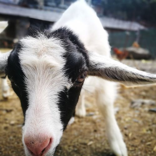 Little goat Outdoors Nature No People Goat Close-up Portrait Andorra🇦🇩 Beauty In Nature Farm Animal Pet Portraits The Week On EyeEm EyeEmNewHere