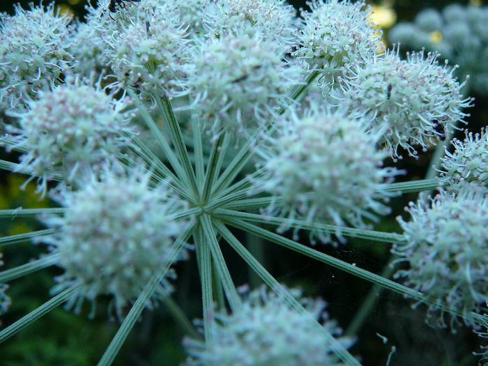 Rubus Idaeus Beauty In Nature Flower Flower Head Nature No People Noinvasive Plant