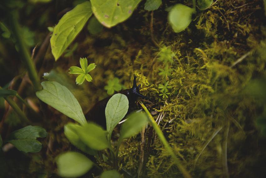 Botanical series: Micrology Alpine Gray Stonecrop Green Micro Nature Plants Polytrichum Piliferum Schnecke Sedum Pachyclados Snail Zackenmuetzen-Moos Alps Botanical Close-up Flowers Macro Micrology Mini Moos Moss Mountain Plants Selective Focus Slug