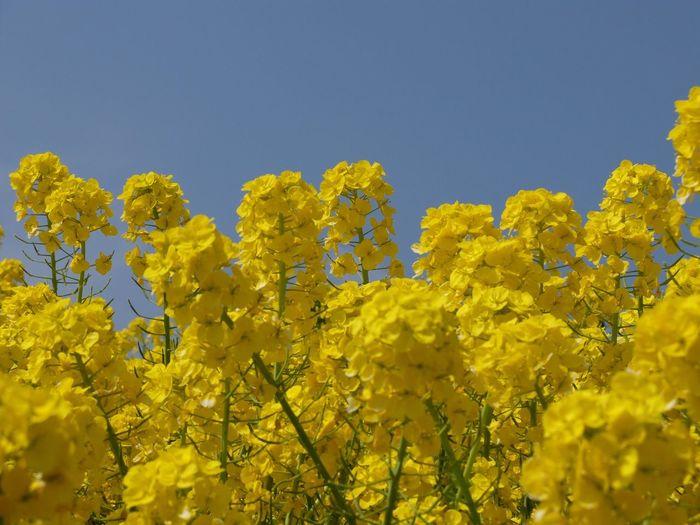母と淡路島に来ています◡̈♥︎花さじきは菜の花が綺麗でした(*'ω'*) Yellow Flower Sky Spring Awajishima 淡路島 菜の花 菜の花畑 EyeEm Nature Lover