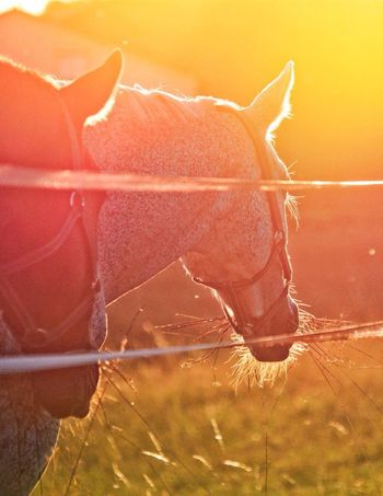 No People One Animal Animal Themes Close-up Nature Outdoors Domestic Animals Horse Sunset Sunlight Tranquil Scene VSCO Most Popular Bestoftheday High Quality Warm Beauty In Nature Nature