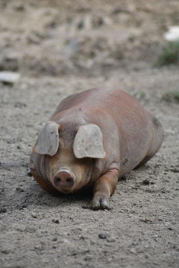 Pig in farm