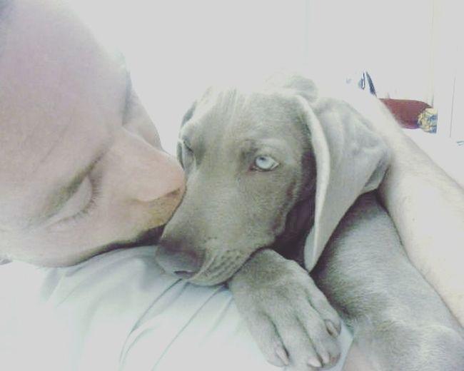 Weimaraner Enjoying Life Gray Dogs Dogs Pets Weimaranerlove Animal Themes