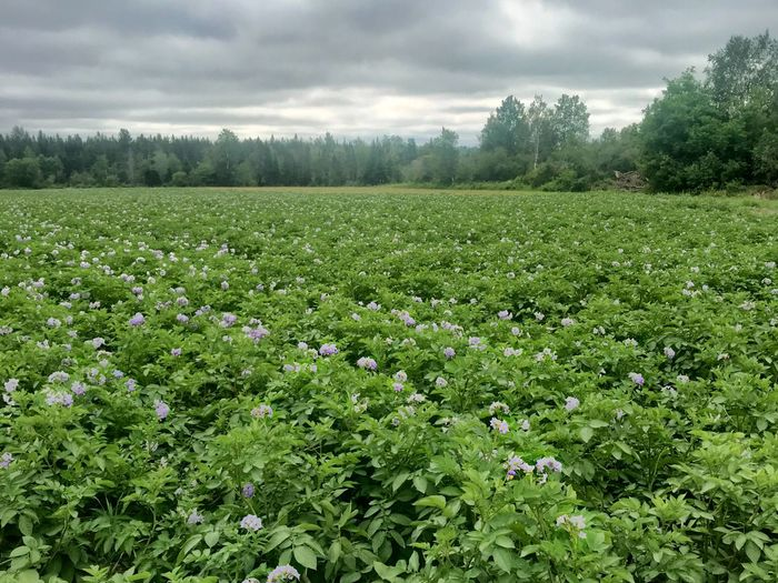 Potato field with purple flowers Potato Crop Farm Agriculture Purple Flower Potato Flower Potato Field Plant Growth Beauty In Nature Land Green Color Tranquility Field Sky Tranquil Scene Tree Landscape Scenics - Nature Cloud - Sky Flower Environment Nature Flowering Plant Day No People