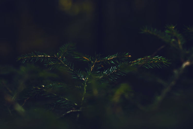 Pine plant with green needles and pine cones in autumn