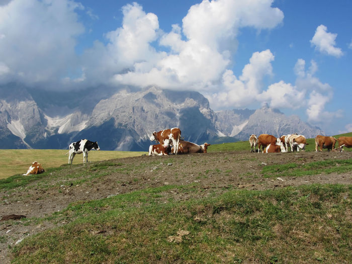 Scenic view of cows on grassy field against cloudy sky