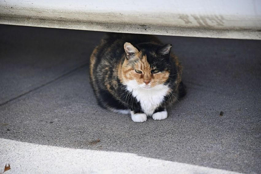A calico cat hangs out underneath a car Domestic Feral Cat Cat Mammal Feline Vertebrate No People One Animal Calico Brown Black Color White Outside Cats High Angle View Looking At Camera Portrait Day Whisker Looking Underneath Vehicle Car Shadow Driveway Meow EyeEmNewHere