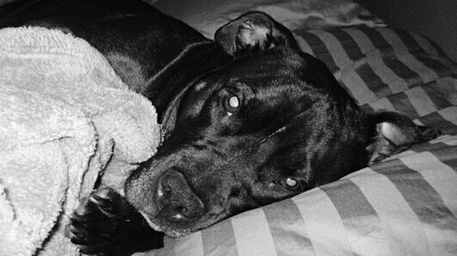 Pets Dog One Animal Domestic Animals Animal Themes Lying Down Mammal Animal Indoors  No People Portrait Close-up Pit Bull Terrier Pibblelove Pitbulls Pitbull♥ Bullylove My Baby Girl RIP My Dog Indoors  Cuteness Cute Cute Pets Day EyeEm Ready   EyeEmNewHere