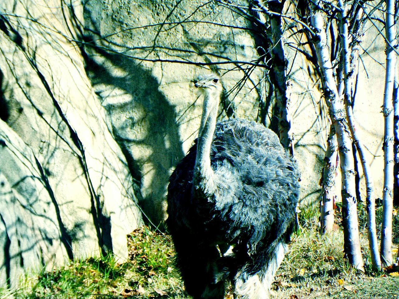 Ostrich Against Bare Trees At Cincinnati Zoo And Botanical Garden