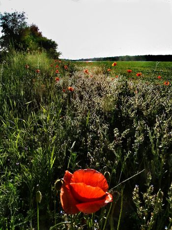 Early Summer - Flower Meadow Klatschmohn Red Poppies Nature Landscape Beliebte Fotos The Great Outdoors - 2016 EyeEm Awards Pure Nature Flowers Blooming Gras Exploding Nature The Essence Of Summer Nature's Diversities
