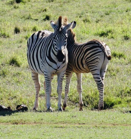 Zebras at Addo