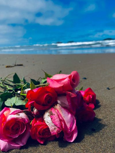 Close-up of pink roses on beach