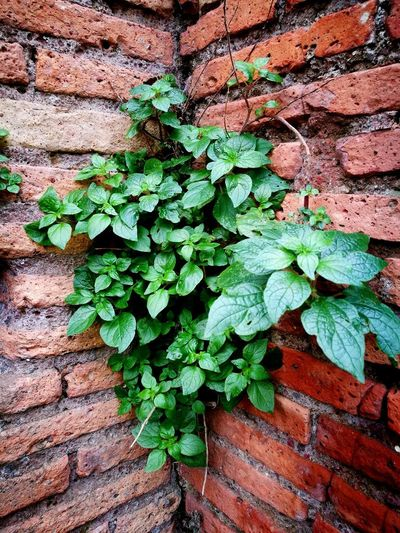 Leaf Green Color Growth Nature Plant Fragility Outdoors No People Close-up Ivy Beauty In Nature Day Backgrounds Freshness The Week On Eyem Leisure Activity Branch Beauty In Nature Nature Plants Plant On A Wall Plant On The Wall Plantography Green Color Green Plants