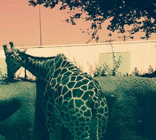 No People Day Outdoors Animal Themes Tree Sky Mammal Oil Pump Giraffe Spots Colors Eating Back Turned Pet Portraits EyeEmNewHere The Week On EyeEm