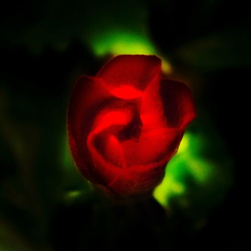 Red in the void Roses Red Nature_collection Nature Natural First Eyeem Photo Love Green EyeEm Best Shots EyeEm Nature Lover