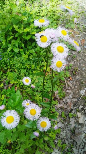 Flower Fragility High Angle View Flower Head Nature Petal Growth Beauty In Nature Blooming Daisy Freshness White Color Day Pollen No People Plant Outdoors Yellow Close-up Beautiful Nature Amaturephotography The Great Outdoors - 2017 EyeEm Awards Plant Growth Hometown