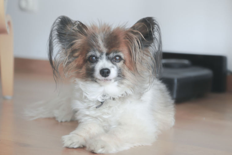 Cuteness Papillons Animal Animal Themes Canine Dog Domestic Domestic Animals Flooring Hair Hardwood Floor Home Interior Indoors  Lap Dog Looking At Camera Mammal No People One Animal Papillon Papillon Dog Pets Portrait Shih Tzu Small Young Animal