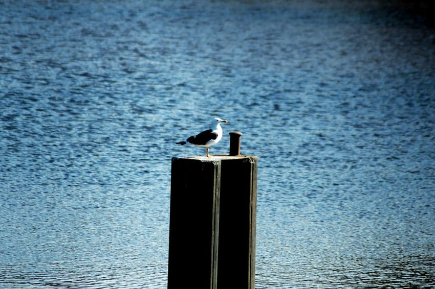 Bird Animals In The Wild Sea One Animal Water Wooden Post Beauty In Nature Outdoors Animal Themes Animal Wildlife Nature Photography Nature