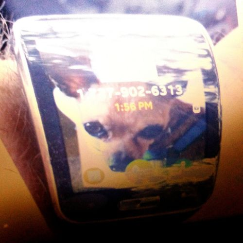 "This is a foto of my ""smart watch "" with a foto of Czaba, she is my 3 pound Chihuahua Taking Photos Hello World St.Petersburg Florida USA"