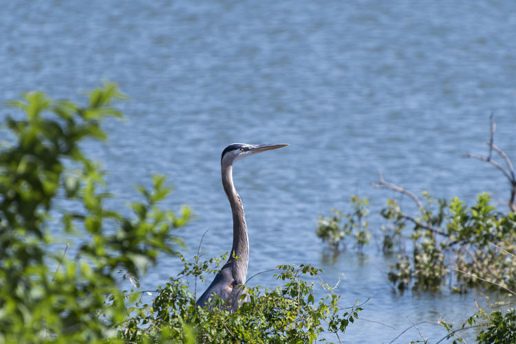 High angle view of gray heron on lake