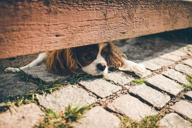 Dog looking under fence