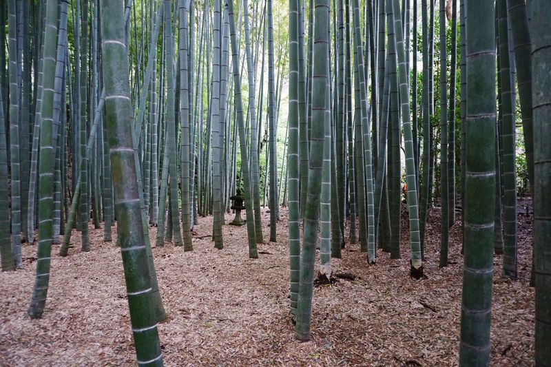 Plant Growth Forest Land Tree Bamboo Grove Tranquility Nature Bamboo Green Color Outdoors Bamboo - Plant WoodLand