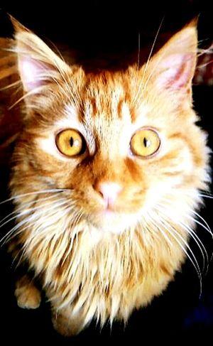 Cat Chat Roux Portrait Cat Lovers