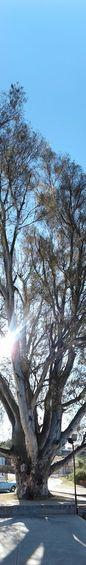 Clear Sky Tree Day Nature árbol Entero Completo Gigante