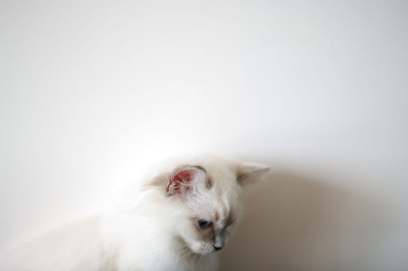 Kitten looking down at home against white wall