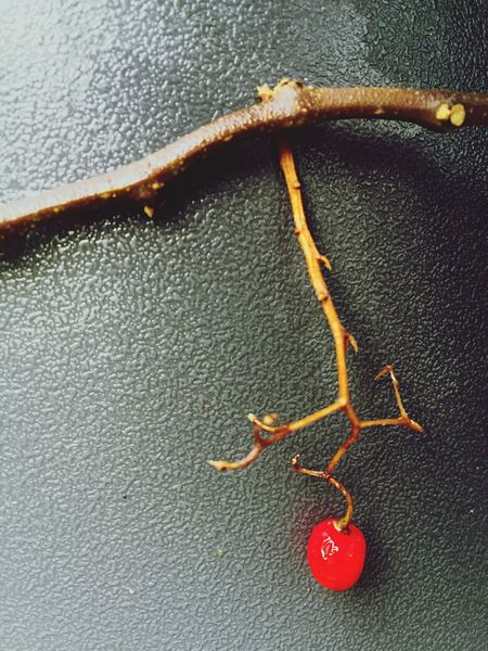 Red Berry Close-up No People Animal Themes Nature Day Outdoors Sea Life Berry Red Branch Autumn Fall Nature Simplicity Minimalism