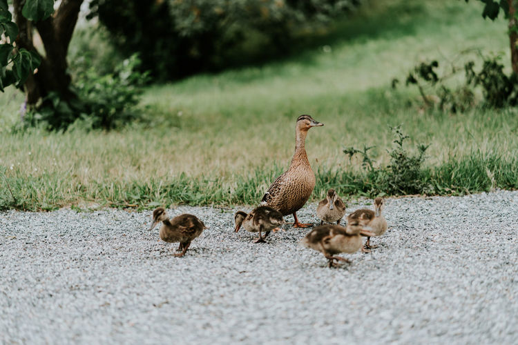 Family of duck on field